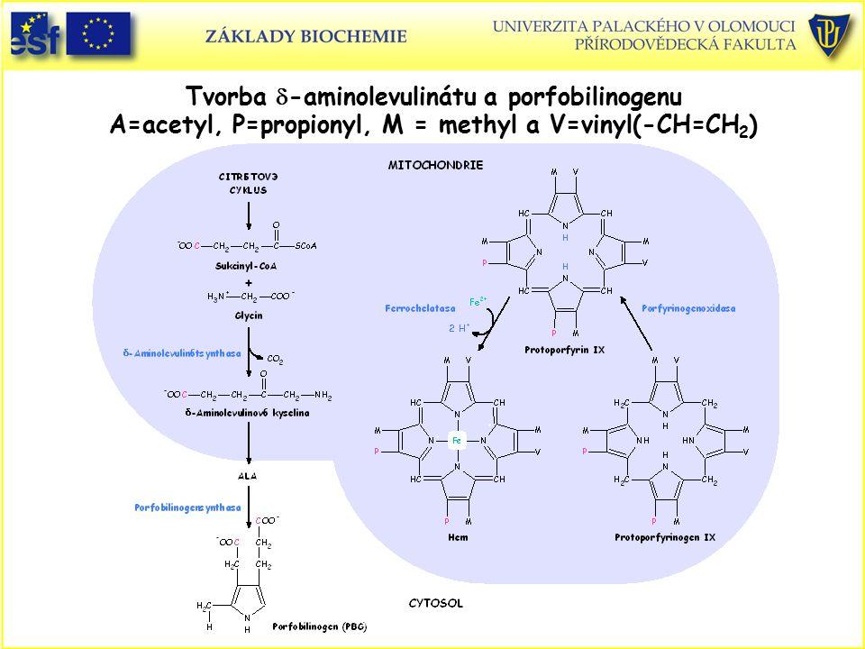 Tvorba  -aminolevulinátu a porfobilinogenu A=acetyl, P=propionyl, M = methyl a V=vinyl(-CH=CH 2 )