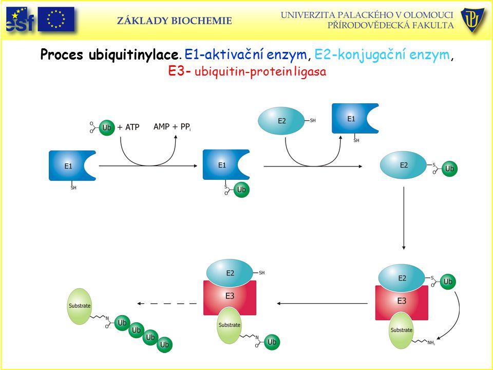 Proces ubiquitinylace. E1-aktivační enzym, E2-konjugační enzym, E3- ubiquitin-protein ligasa