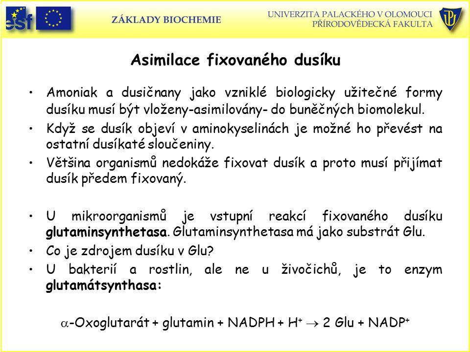 Asimilace fixovaného dusíku Amoniak a dusičnany jako vzniklé biologicky užitečné formy dusíku musí být vloženy-asimilovány- do buněčných biomolekul. K