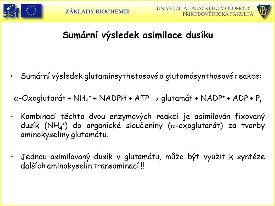 Sumární výsledek asimilace dusíku Sumární výsledek glutaminsythetasové a glutamásynthasové reakce:  -Oxoglutarát + NH 4 + + NADPH + ATP  glutamát +