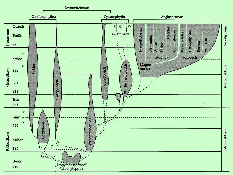 """Nahosemenné """" Gymnospermae  organizační úroveň = parafyletická skupina  dřeviny  sporofyt mohutně převládá nad gametofytem  nemají květní obaly ani bliznu  Květy jednopohlavné (oboupohlavné květy měly pouze vymřelé Bennettitales )  jednodomé nebo dvoudomé  Cévní svazky otevřené, jen cévice (tracheidy), druhotně tloustno činností kambia."""