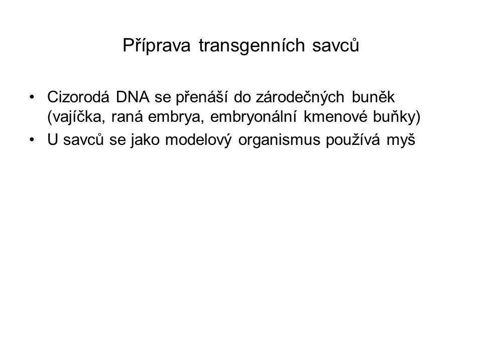 Přenos DNA do oplozených vajíček myší mikroinjekcí vajíčko se kultivuje in vitro ve stadiu moruly nebo blastuly se přenese do náhradní matky, v níž jeho vývoj pokračuje V případě, že došlo k úspěšnému přenosu transgenu do genomu vajíčka, bude ho potomstvo obsahovat začleněný v náhodném místě a stabilně přenášet do dalších generací