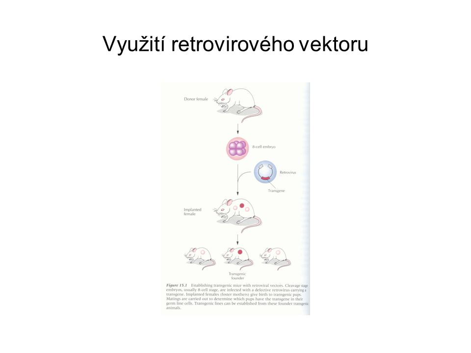 Přenos DNA do embryonálních kmenových buněk myší Embryonální kmenové buňky se připravují z raných zárodků Snadno se kultivují in vitro a selektují buňky, v nichž se přenesený transgen začlenil do genomu homologní rekombinací