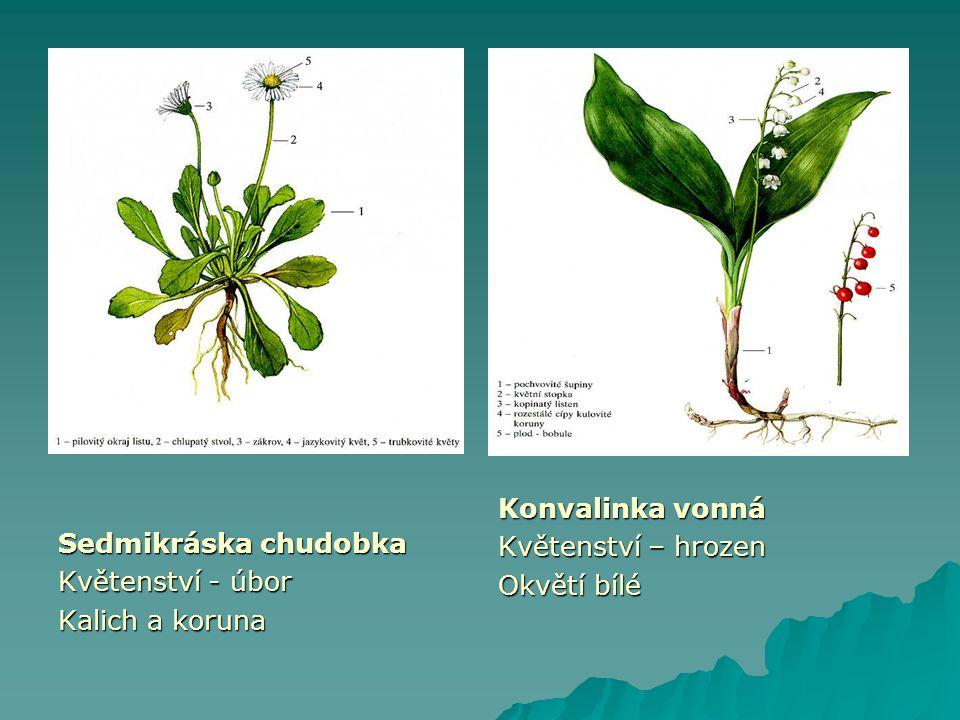 Sedmikráska chudobka Květenství - úbor Kalich a koruna Konvalinka vonná Květenství – hrozen Okvětí bílé