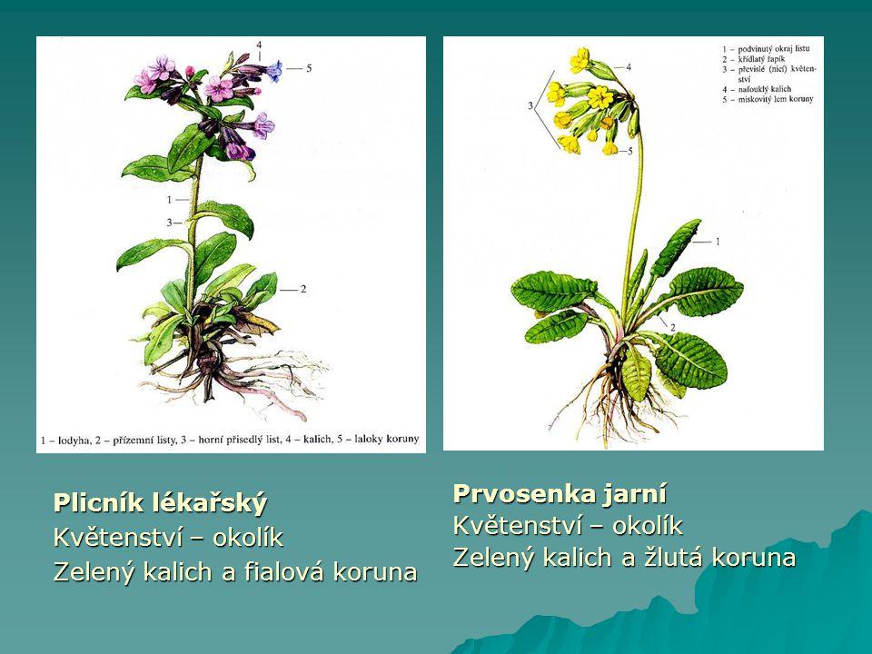 Plicník lékařský Květenství – okolík Zelený kalich a fialová koruna Prvosenka jarní Květenství – okolík Zelený kalich a žlutá koruna