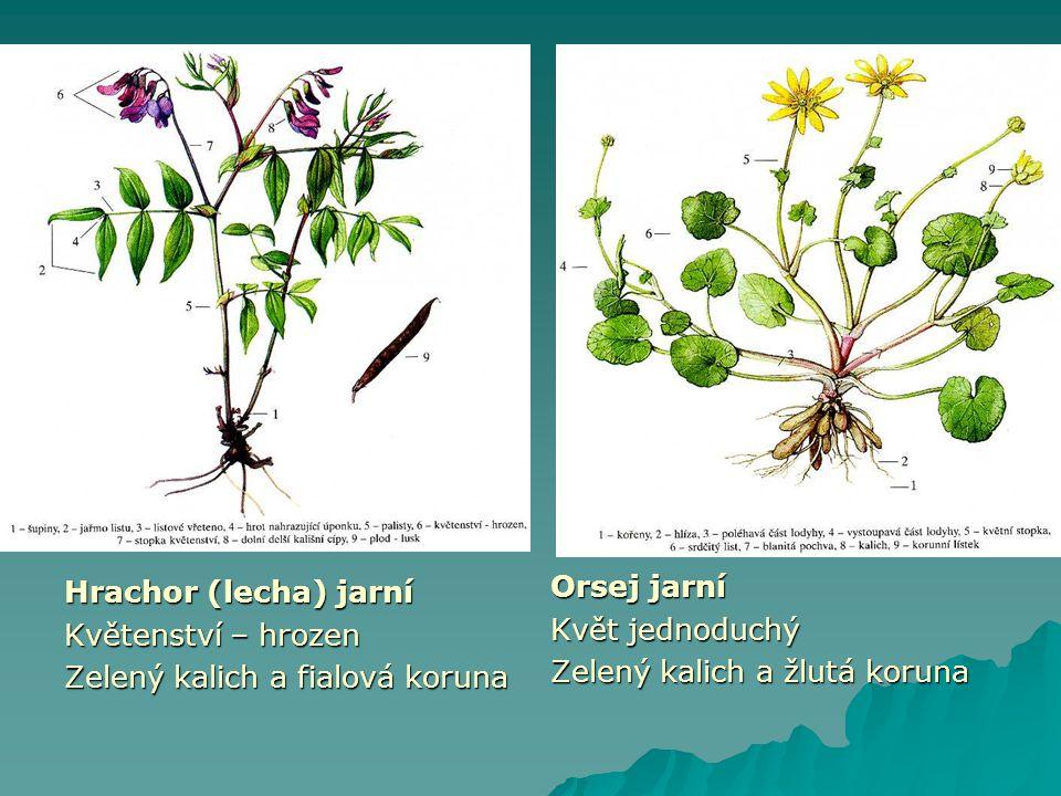 Hrachor (lecha) jarní Květenství – hrozen Zelený kalich a fialová koruna Orsej jarní Květ jednoduchý Zelený kalich a žlutá koruna