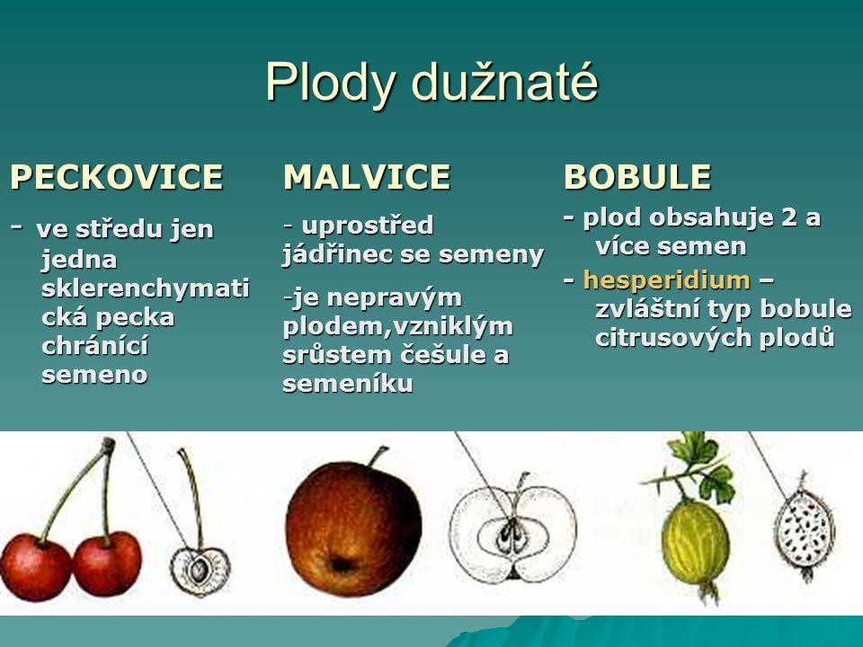Plody dužnaté PECKOVICE - ve středu jen jedna sklerenchymati cká pecka chránící semeno BOBULE - plod obsahuje 2 a více semen - hesperidium – zvláštní typ bobule citrusových plodů MALVICE - uprostřed jádřinec se semeny -je nepravým plodem,vzniklým srůstem češule a semeníku