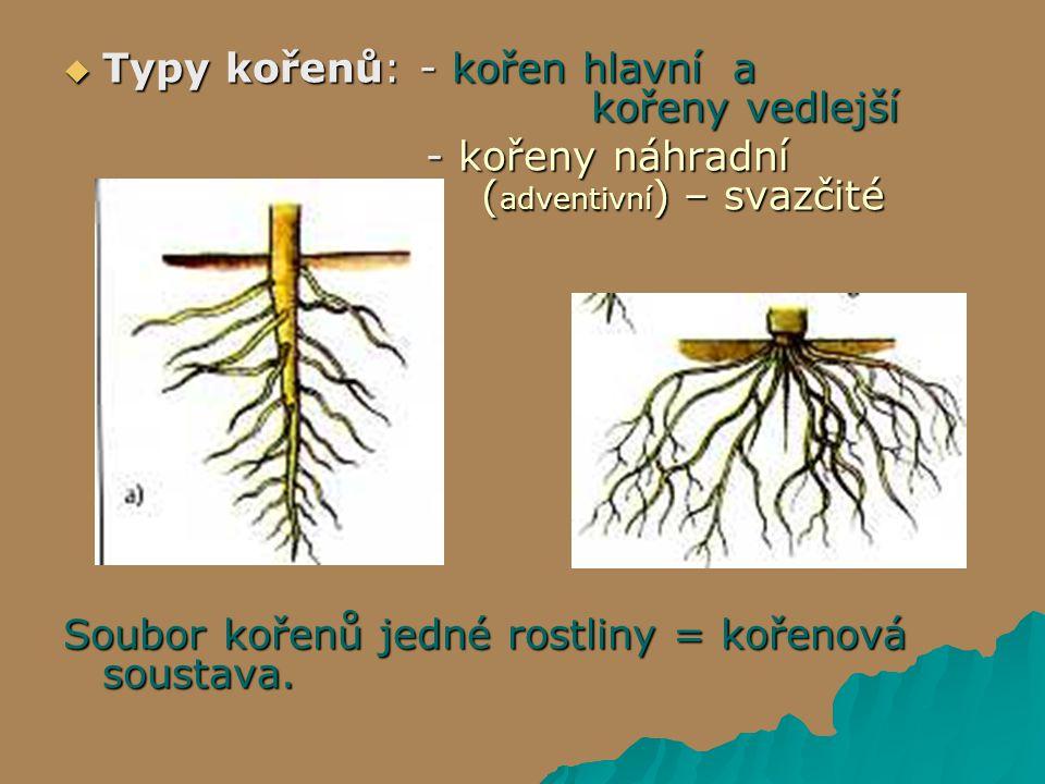  Typy kořenů: - kořen hlavní a kořeny vedlejší - kořeny náhradní ( adventivní ) – svazčité - kořeny náhradní ( adventivní ) – svazčité Soubor kořenů jedné rostliny = kořenová soustava.