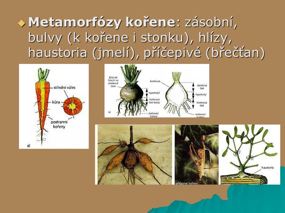  Metamorfózy kořene: zásobní, bulvy (k kořene i stonku), hlízy, haustoria (jmelí), příčepivé (břečťan)
