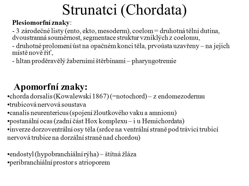 Strunatci (Chordata) Plesiomorfní znaky: - 3 zárodečné listy (ento, ekto, mesoderm), coelom = druhotná tělní dutina, dvoustranná souměrnost, segmentace struktur vzniklých z coelomu, - druhotné prolomení úst na opačném konci těla, prvoústa uzavřeny – na jejich místě nově řiť, - hltan proděravělý žaberními štěrbinami – pharyngotremie Apomorfní znaky: chorda dorsalis (Kowalewski 1867) (=notochord) – z endomezodermu trubicová nervová soustava canalis neurentericus (spojení žloutkového vaku a amnionu) postanální ocas (zadní část Hox komplexu – i u Hemichordata) inverze dorzoventrální osy těla (srdce na ventrální straně pod trávicí trubicí nervová trubice na dorzální straně nad chordou) endostyl (hypobranchiální rýha) – štítná žláza peribranchiální prostor s atrioporem