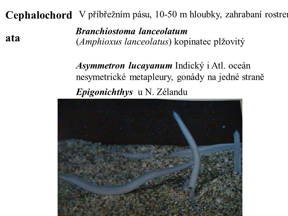 Cephalochord ata Branchiostoma lanceolatum (Amphioxus lanceolatus) kopinatec plžovitý Asymmetron lucayanum Indický i Atl. oceán nesymetrické metapleur