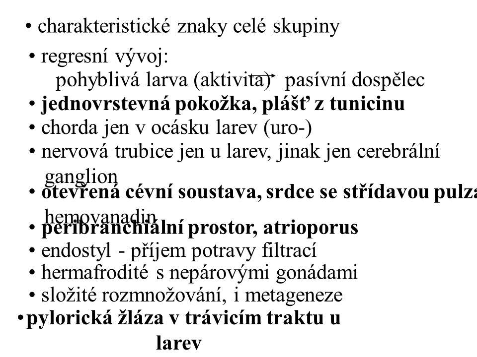 regresní vývoj: pohyblivá larva (aktivita)pasívní dospělec jednovrstevná pokožka, plášť z tunicinu chorda jen v ocásku larev (uro-) nervová trubice je
