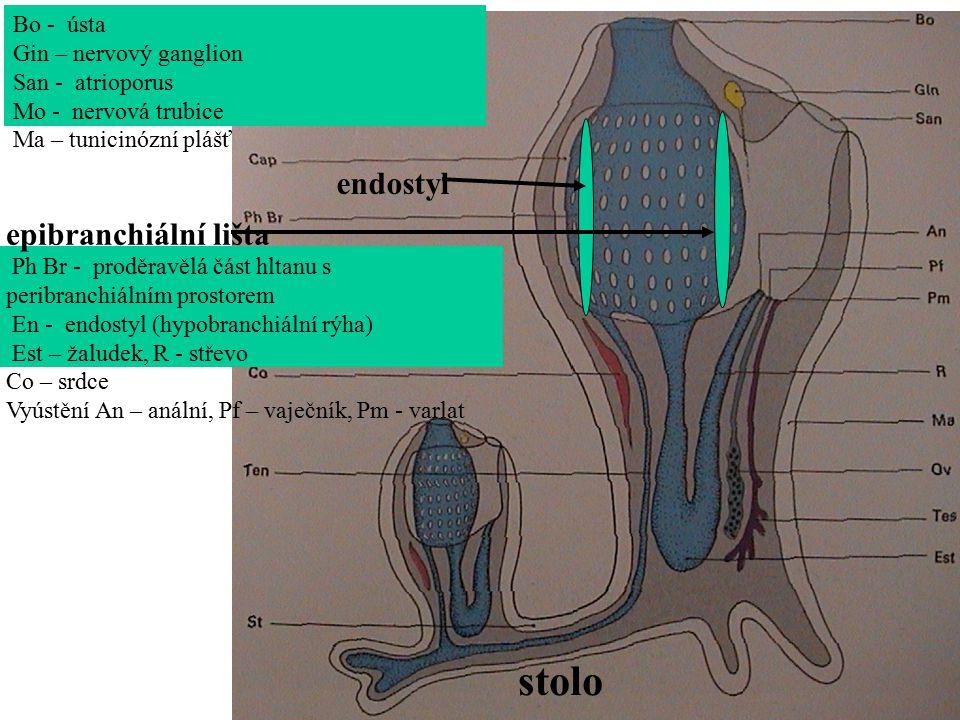 Bo - ústa Gin – nervový ganglion San - atrioporus Mo - nervová trubice Ma – tunicinózní plášť Ph Br - proděravělá část hltanu s peribranchiálním prostorem En - endostyl (hypobranchiální rýha) Est – žaludek, R - střevo Co – srdce Vyústění An – anální, Pf – vaječník, Pm - varlat stolo endostyl epibranchiální lišta