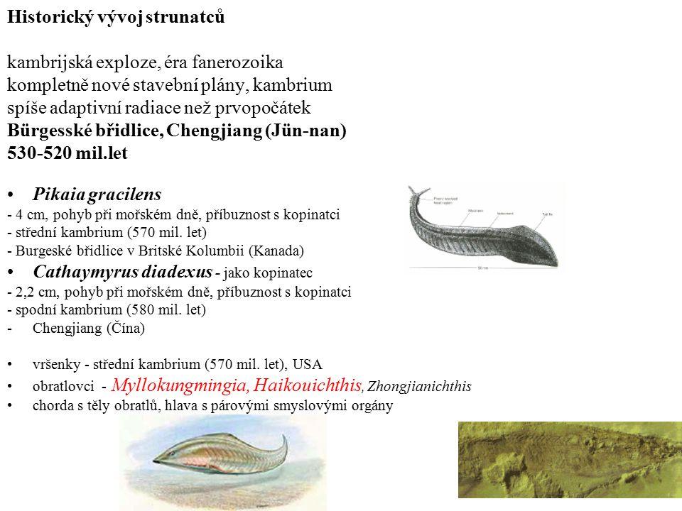 Historický vývoj strunatců kambrijská exploze, éra fanerozoika kompletně nové stavební plány, kambrium spíše adaptivní radiace než prvopočátek Bürgesské břidlice, Chengjiang (Jün-nan) 530-520 mil.let Pikaia gracilens - 4 cm, pohyb při mořském dně, příbuznost s kopinatci - střední kambrium (570 mil.