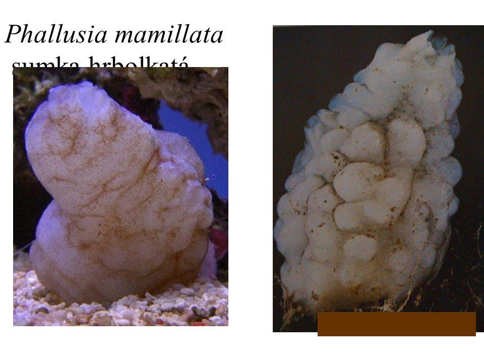 2. Phallusia mamillata sumka hrbolkatá