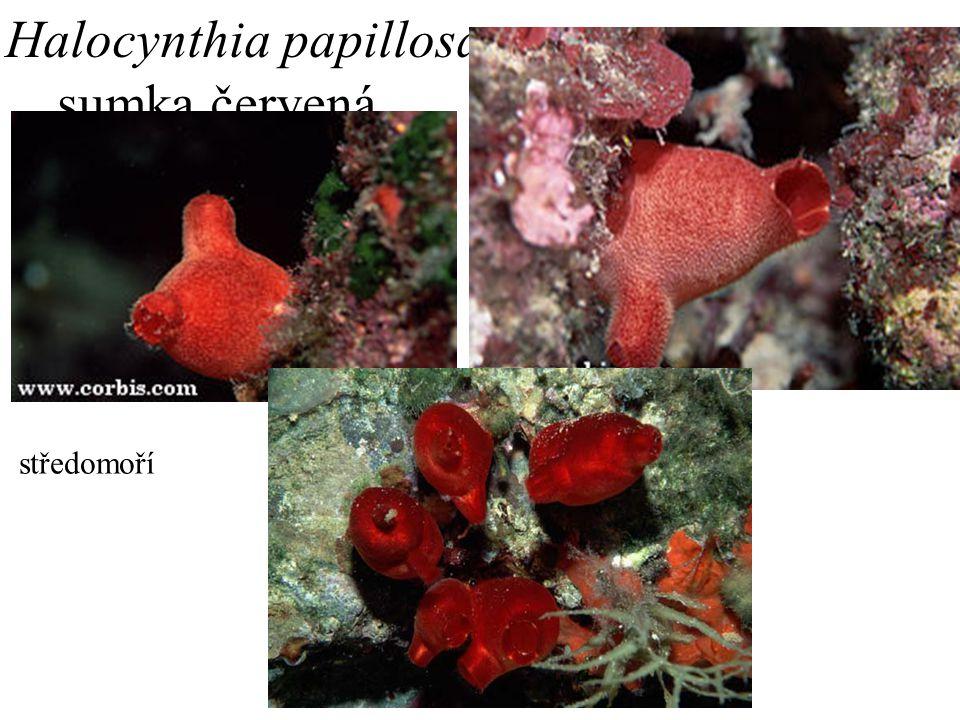 3. Halocynthia papillosa sumka červená středomoří
