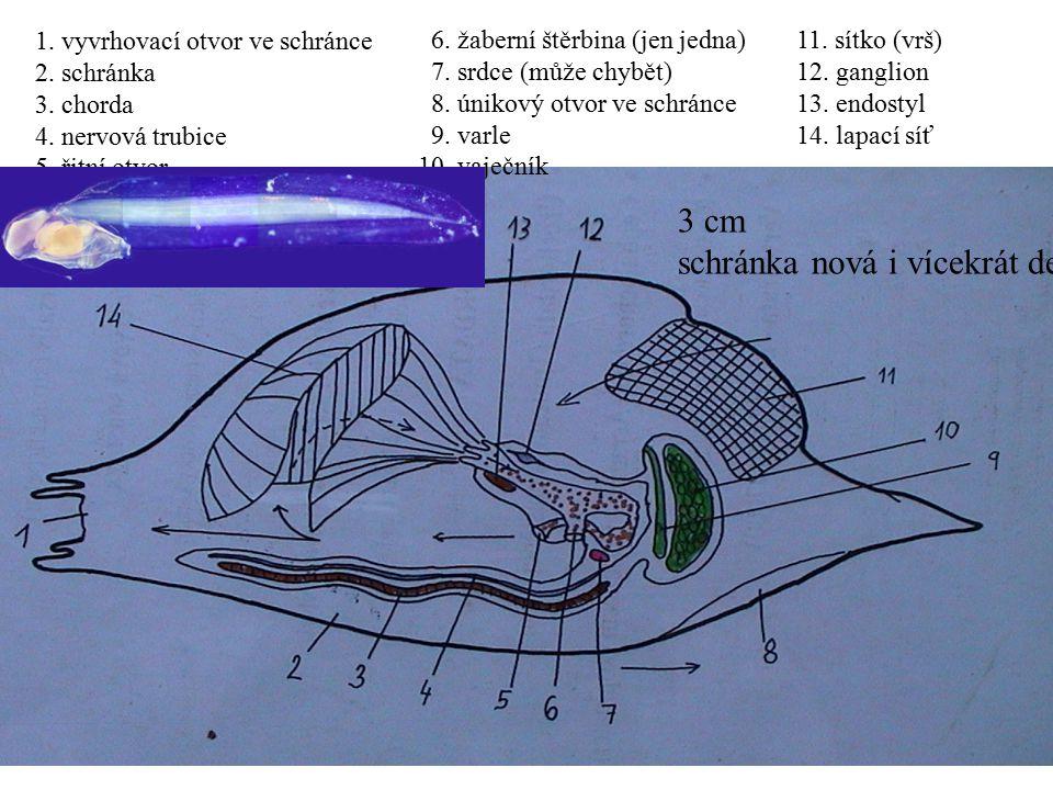 1. vyvrhovací otvor ve schránce 2. schránka 3. chorda 4. nervová trubice 5. řitní otvor 6. žaberní štěrbina (jen jedna) 7. srdce (může chybět) 8. únik