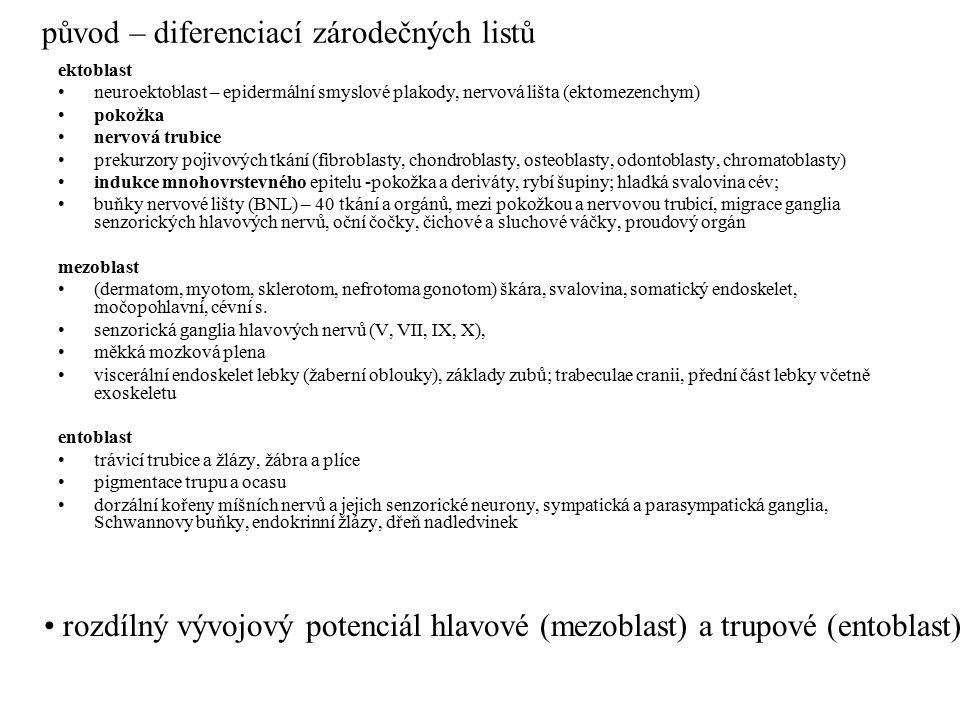 ektoblast neuroektoblast – epidermální smyslové plakody, nervová lišta (ektomezenchym) pokožka nervová trubice prekurzory pojivových tkání (fibroblast