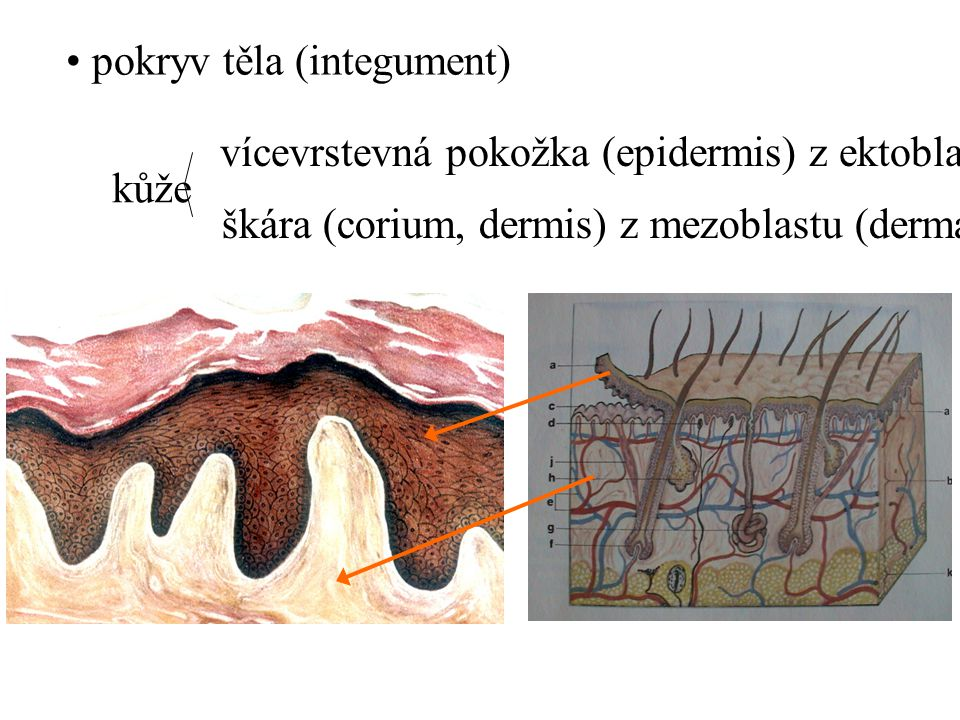 pokryv těla (integument) kůže vícevrstevná pokožka (epidermis) z ektoblastu škára (corium, dermis) z mezoblastu (dermatom)