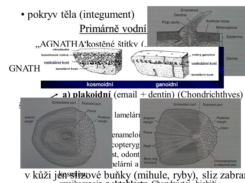 """pokryv těla (integument) nahá """"AGNATHA :kostěné štítky (""""Ostracodermi ) - druhotně nahá (mihule) kostěné desky (Placodermi) - kostěné šupiny GNATHOSTOMATA: šupiny a) plakoidní (email + dentin) (Chondrichthyes) - zuby b) kosmoidní lamelární kost=izopedin, vaskulární kost, dentin=kosmin, enameloid=vitrodentin z mezoblastu;Sarcopterygii) osteoblasty – kost, odontoblasty – zubovina c) ganoidní (lamelární a vaskulární kost, redukce kosminu; email=ganoin z ektoblastu, Chondrostei, bichiři, kaprounia kostlíni) d) leptoidní (elasmoidní, ohebná šupina) (lamelární acelulární kost, Teleostei) trend ztenčování, cykloidní a ktenoidní ( – c) Primárně vodní obratlovci v kůži jen slizové buňky (mihule, ryby), sliz zabraňuje maceraci"""