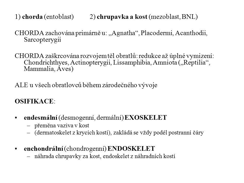 """1) chorda (entoblast) 2) chrupavka a kost (mezoblast, BNL) CHORDA zachována primárně u: """"Agnatha , Placodermi, Acanthodii, Sarcopterygii CHORDA zaškrcována rozvojem těl obratlů: redukce až úplné vymizení: Chondrichthyes, Actinopterygii, Lissamphibia, Amniota (""""Reptilia , Mammalia, Aves) ALE u všech obratlovců během zárodečného vývoje OSIFIKACE: endesmální (desmogenní, dermální) EXOSKELET –přeměna vaziva v kost –(dermatoskelet z krycích kostí), zakládá se vždy podél postranní čáry enchondrální (chondrogenní) ENDOSKELET –náhrada chrupavky za kost, endoskelet z náhradních kostí"""
