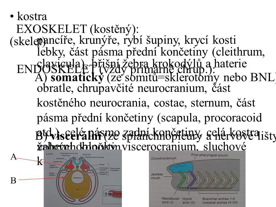kostra (skelet) EXOSKELET (kostěný): pancíře, krunýře, rybí šupiny, krycí kosti lebky, část pásma přední končetiny (cleithrum, clavicula), břišní žebra krokodýlů a haterie ENDOSKELET (vždy primárně chrup.): A) somatický (ze somitů=sklerotomy nebo BNL) obratle, chrupavčité neurocranium, část kostěného neurocrania, costae, sternum, část pásma přední končetiny (scapula, procoracoid atd.), celé pásmo zadní končetiny, celá kostra volných končetin B) viscerální (ze splanchnopleury a nervové lišty) žaberní oblouky, viscerocranium, sluchové kůstky A B
