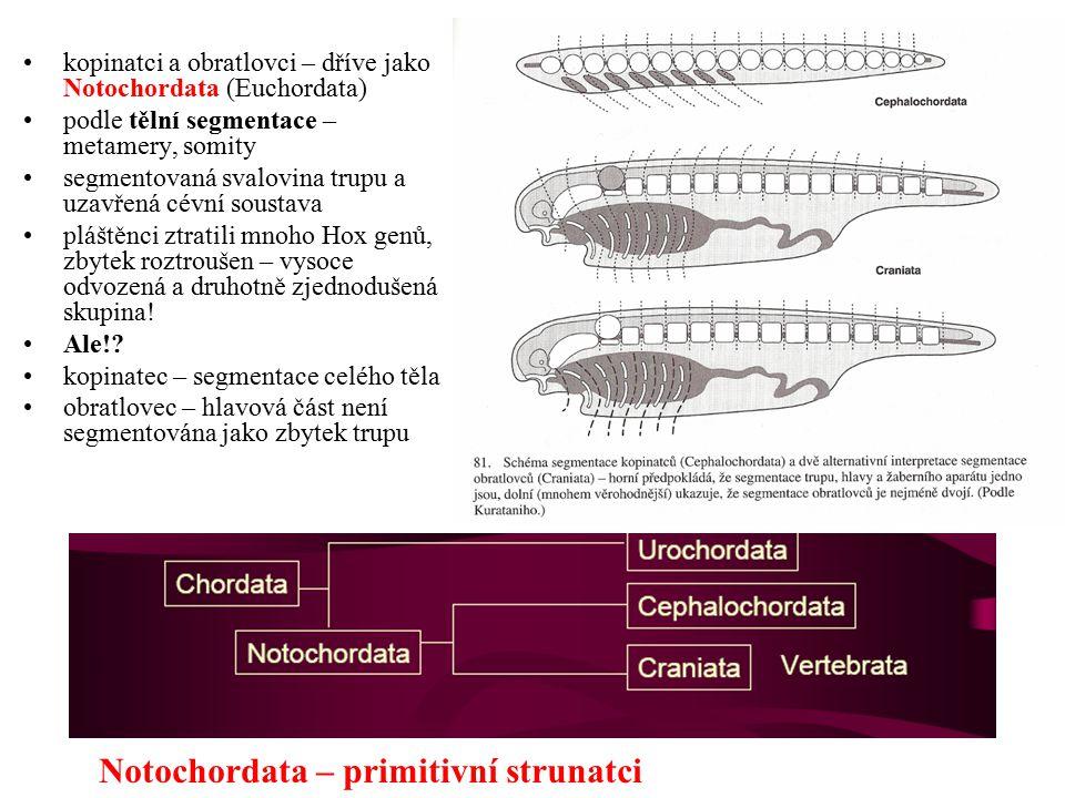 kopinatci a obratlovci – dříve jako Notochordata (Euchordata) podle tělní segmentace – metamery, somity segmentovaná svalovina trupu a uzavřená cévní soustava pláštěnci ztratili mnoho Hox genů, zbytek roztroušen – vysoce odvozená a druhotně zjednodušená skupina.