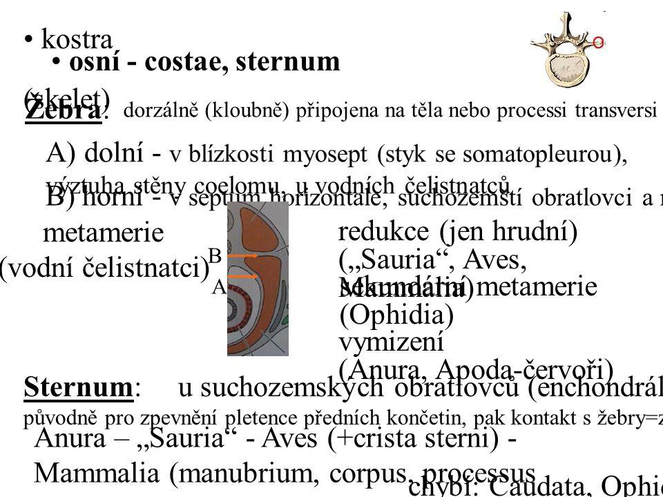 """Žebra: dorzálně (kloubně) připojena na těla nebo processi transversi obratlů A) dolní - v blízkosti myosept (styk se somatopleurou), výztuha stěny coelomu, u vodních čelistnatců B) horní - v septum horizontale, suchozemští obratlovci a některé ryby metamerie (vodní čelistnatci) redukce (jen hrudní) (""""Sauria , Aves, Mammalia) vymizení (Anura, Apoda-červoři) sekundární metamerie (Ophidia) Sternum: u suchozemských obratlovců (enchondrálně=z chrupavky) původně pro zpevnění pletence předních končetin, pak kontakt s žebry=zpevnění hrudníku Anura – """"Sauria - Aves (+crista sterni) - Mammalia (manubrium, corpus, processus xiphoideus) chybí: Caudata, Ophidia kostra (skelet) osní - costae, sternum B A"""