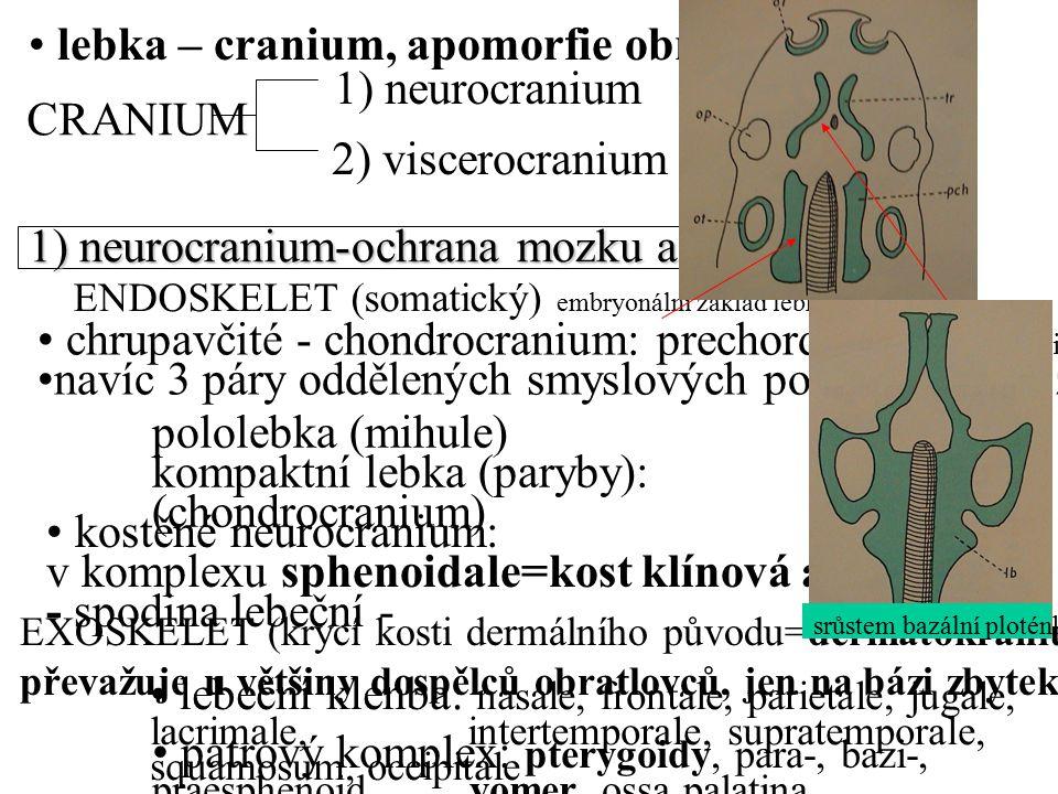 lebka – cranium, apomorfie obratlovců CRANIUM 1) neurocranium 2) viscerocranium kostěné neurocranium: v komplexu sphenoidale=kost klínová a kost týlní - spodina lebeční - EXOSKELET (krycí kosti dermálního původu=dermatokranium převažuje u většiny dospělců obratlovců, jen na bázi zbytek chondrocrania) lebeční klenba: nasale, frontale, parietale, jugale, lacrimale, intertemporale, supratemporale, squamosum, occipitale patrový komplex: pterygoidy, para-, bazi-, praesphenoid, vomer, ossa palatina 1) neurocranium-ochrana mozku a smysl.