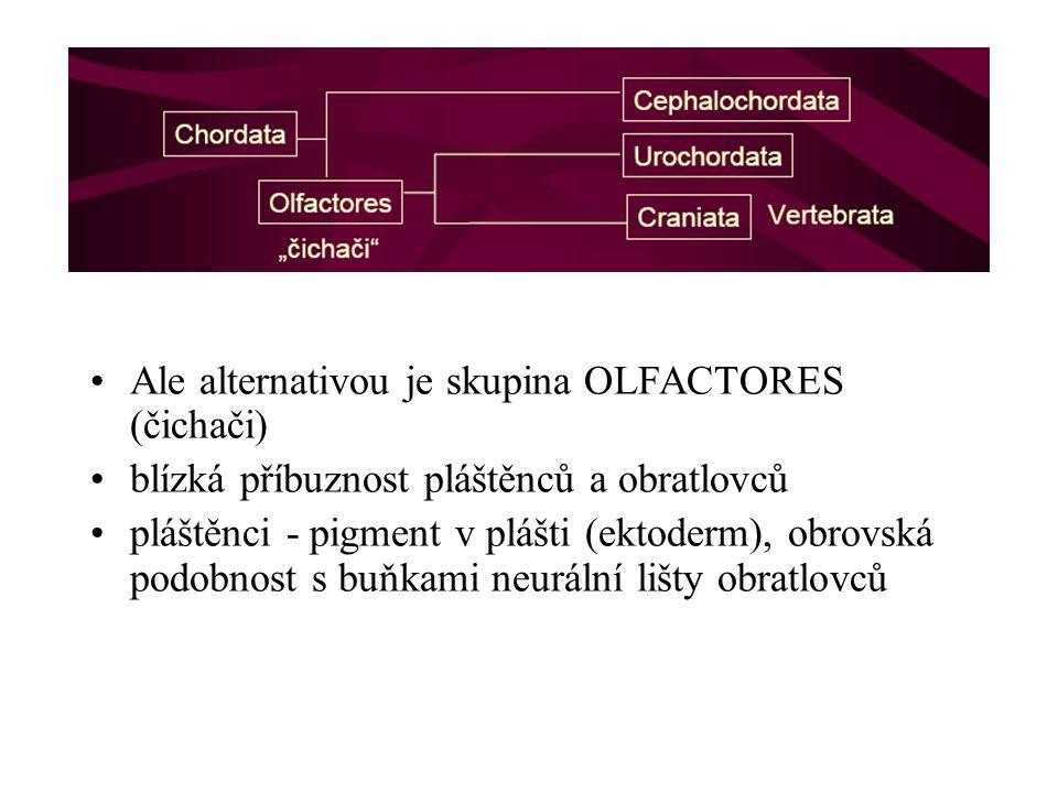 Ale alternativou je skupina OLFACTORES (čichači) blízká příbuznost pláštěnců a obratlovců pláštěnci - pigment v plášti (ektoderm), obrovská podobnost