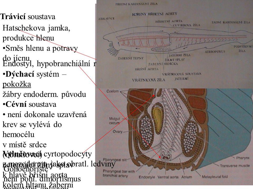 Hatschekova jamka, produkce hlenu Směs hlenu a potravy do jícnu Endostyl, hypobranchiální rýha Dýchací systém – pokožka žábry endoderm. původu Cévní s