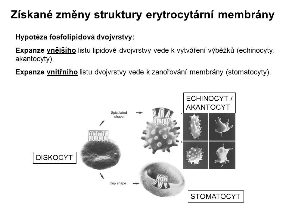 Získané změny struktury erytrocytární membrány Hypotéza fosfolipidová dvojvrstvy: Expanze vnějšího listu lipidové dvojvrstvy vede k vytváření výběžků