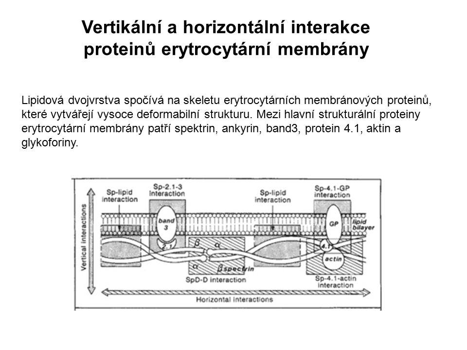 Vertikální a horizontální interakce proteinů erytrocytární membrány Lipidová dvojvrstva spočívá na skeletu erytrocytárních membránových proteinů, kter