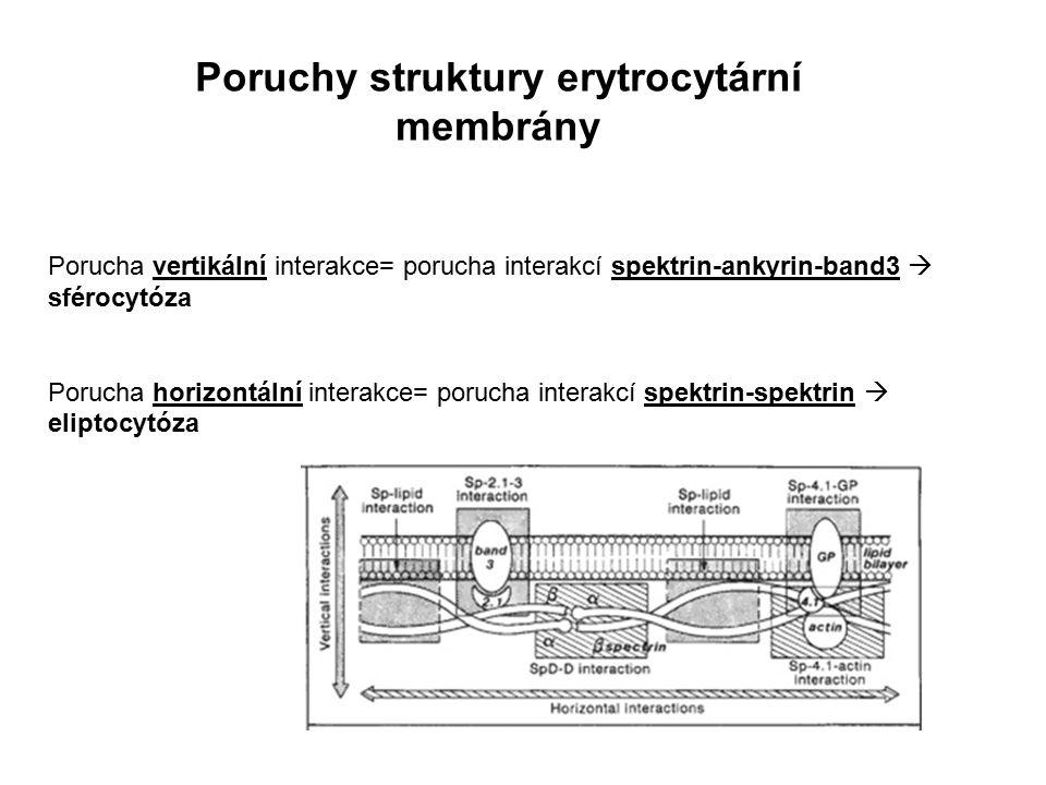 Poruchy struktury erytrocytární membrány Porucha vertikální interakce= porucha interakcí spektrin-ankyrin-band3  sférocytóza Porucha horizontální int