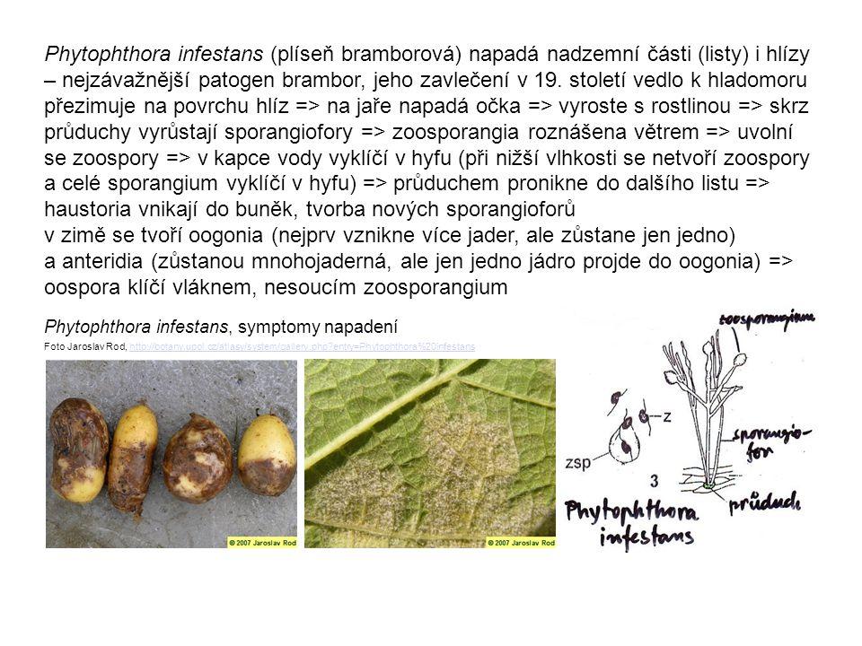 Phytophthora infestans (plíseň bramborová) napadá nadzemní části (listy) i hlízy – nejzávažnější patogen brambor, jeho zavlečení v 19. století vedlo k