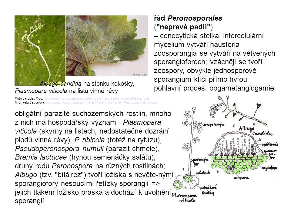 řád Peronosporales (