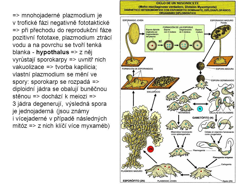 => mnohojaderné plazmodium je v trofické fázi negativně fototaktické => při přechodu do reprodukční fáze pozitivní fototaxe, plazmodium ztrácí vodu a