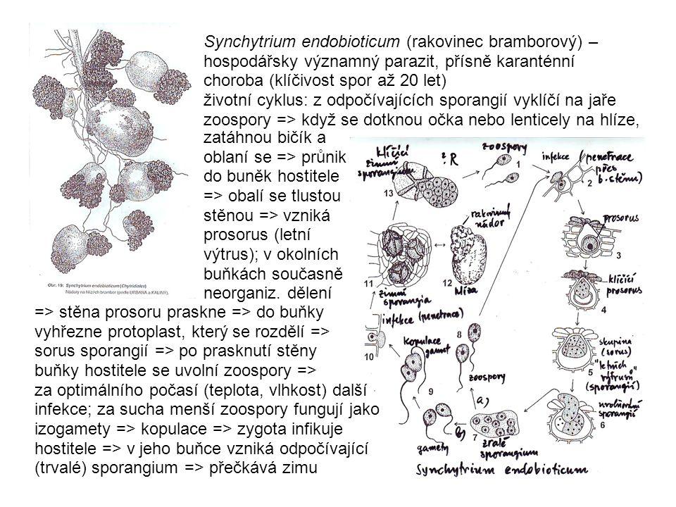 zatáhnou bičík a oblaní se => průnik do buněk hostitele => obalí se tlustou stěnou => vzniká prosorus (letní výtrus); v okolních buňkách současně neor