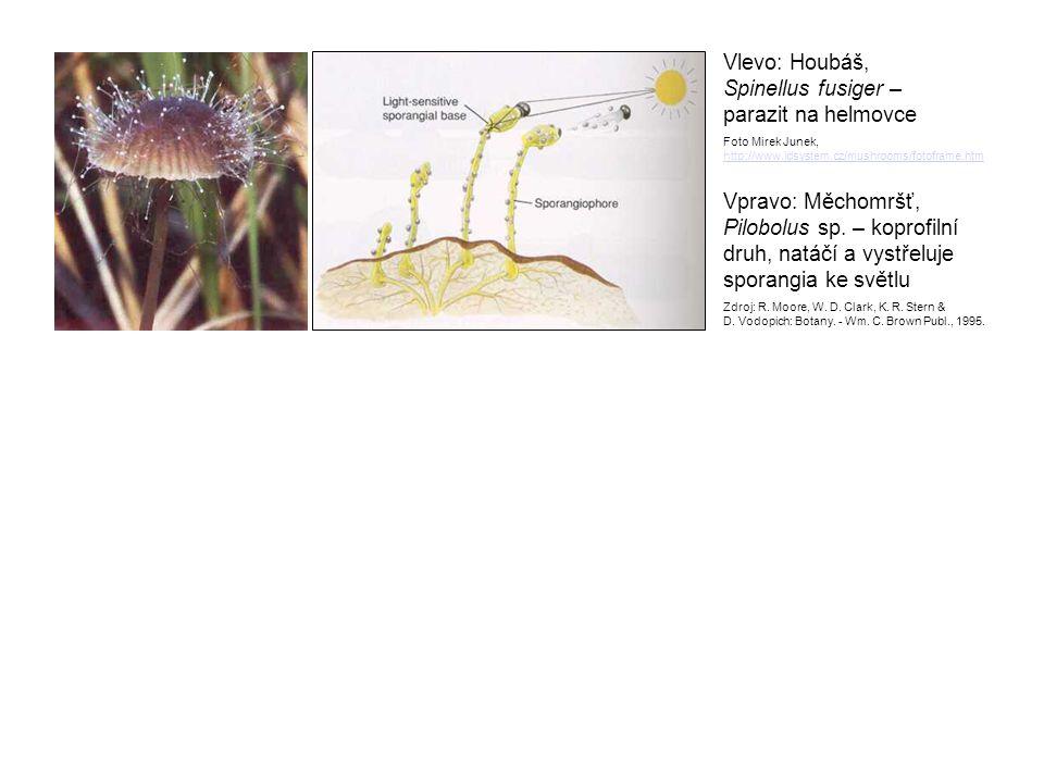 Vlevo: Houbáš, Spinellus fusiger – parazit na helmovce Foto Mirek Junek, http://www.idsystem.cz/mushrooms/fotoframe.htm Vpravo: Měchomršť, Pilobolus s