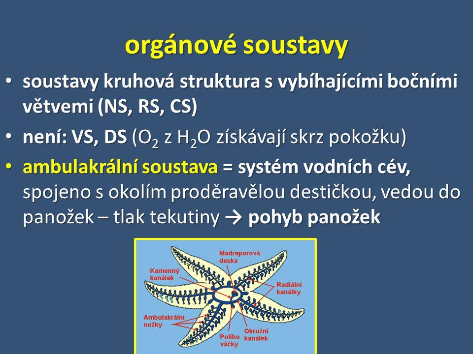 soustavy kruhová struktura s vybíhajícími bočními větvemi (NS, RS, CS) soustavy kruhová struktura s vybíhajícími bočními větvemi (NS, RS, CS) není: VS, DS (O 2 z H 2 O získávají skrz pokožku) není: VS, DS (O 2 z H 2 O získávají skrz pokožku) ambulakrální soustava = systém vodních cév, spojeno s okolím proděravělou destičkou, vedou do panožek – tlak tekutiny → pohyb panožek ambulakrální soustava = systém vodních cév, spojeno s okolím proděravělou destičkou, vedou do panožek – tlak tekutiny → pohyb panožek orgánové soustavy