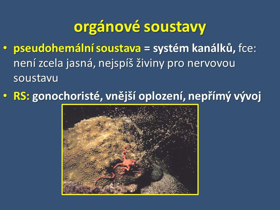 pseudohemální soustava = systém kanálků, fce: není zcela jasná, nejspíš živiny pro nervovou soustavu pseudohemální soustava = systém kanálků, fce: není zcela jasná, nejspíš živiny pro nervovou soustavu RS: gonochoristé, vnější oplození, nepřímý vývoj RS: gonochoristé, vnější oplození, nepřímý vývoj orgánové soustavy