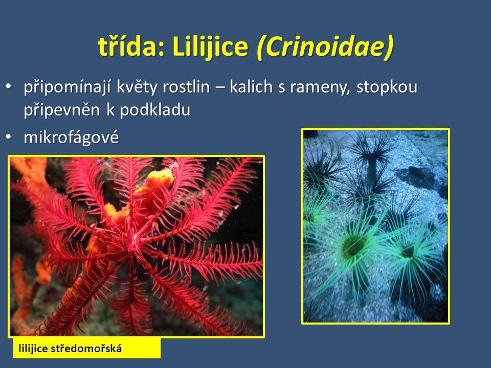 třída: Lilijice (Crinoidae) připomínají květy rostlin – kalich s rameny, stopkou připevněn k podkladu připomínají květy rostlin – kalich s rameny, stopkou připevněn k podkladu mikrofágové mikrofágové lilijice středomořská