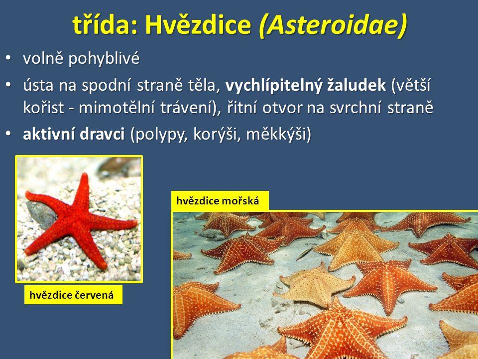 třída: Hvězdice (Asteroidae) volně pohyblivé volně pohyblivé ústa na spodní straně těla, vychlípitelný žaludek (větší kořist - mimotělní trávení), řitní otvor na svrchní straně ústa na spodní straně těla, vychlípitelný žaludek (větší kořist - mimotělní trávení), řitní otvor na svrchní straně aktivní dravci (polypy, korýši, měkkýši) aktivní dravci (polypy, korýši, měkkýši) hvězdice červená hvězdice mořská
