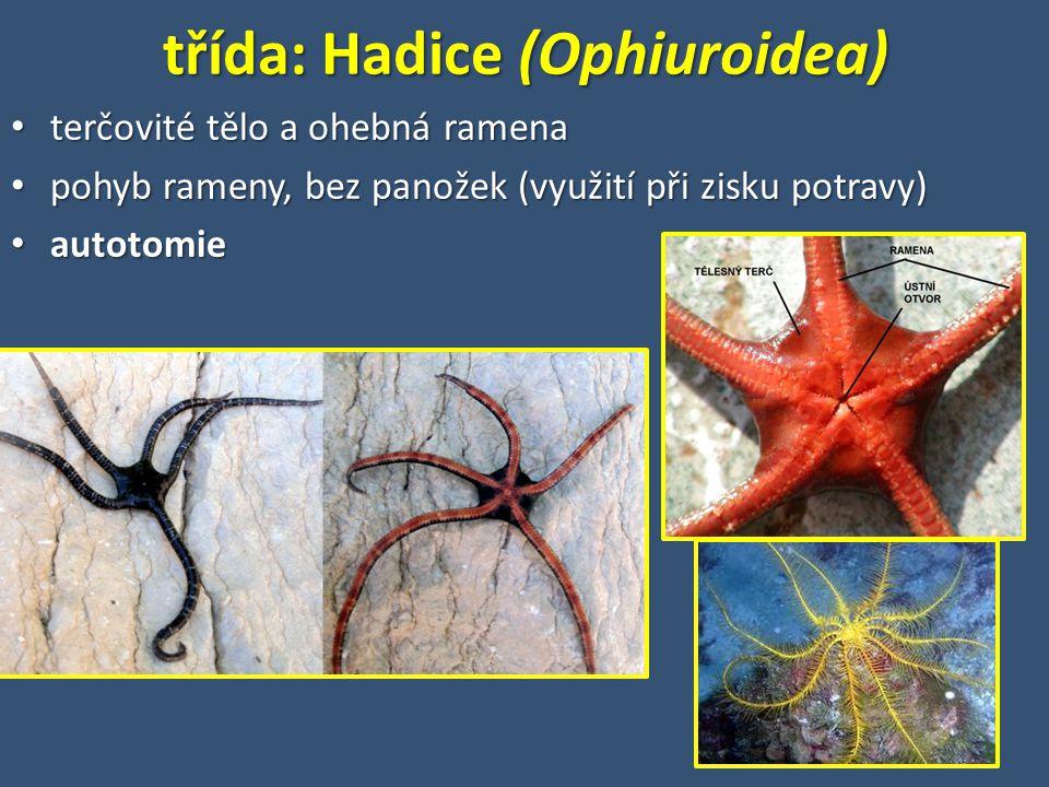 třída: Hadice (Ophiuroidea) terčovité tělo a ohebná ramena terčovité tělo a ohebná ramena pohyb rameny, bez panožek (využití při zisku potravy) pohyb rameny, bez panožek (využití při zisku potravy) autotomie autotomie