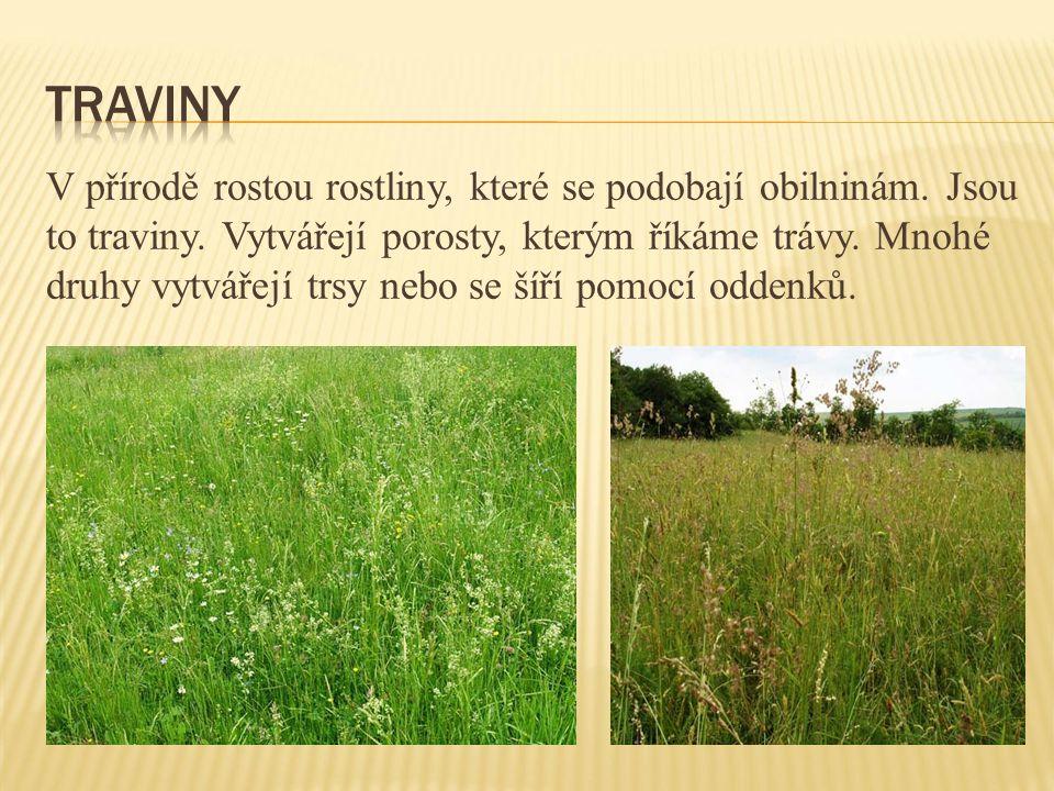 V přírodě rostou rostliny, které se podobají obilninám. Jsou to traviny. Vytvářejí porosty, kterým říkáme trávy. Mnohé druhy vytvářejí trsy nebo se ší