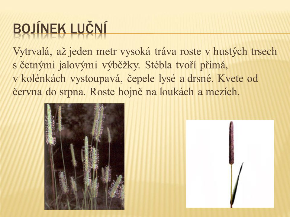 Vytrvalá, až jeden metr vysoká tráva roste v hustých trsech s četnými jalovými výběžky. Stébla tvoří přímá, v kolénkách vystoupavá, čepele lysé a drsn