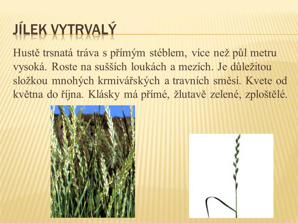 Hustě trsnatá tráva s přímým stéblem, více než půl metru vysoká. Roste na sušších loukách a mezích. Je důležitou složkou mnohých krmivářských a travní