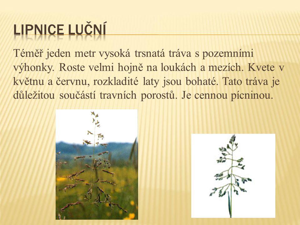 Téměř jeden metr vysoká trsnatá tráva s pozemními výhonky. Roste velmi hojně na loukách a mezích. Kvete v květnu a červnu, rozkladité laty jsou bohaté