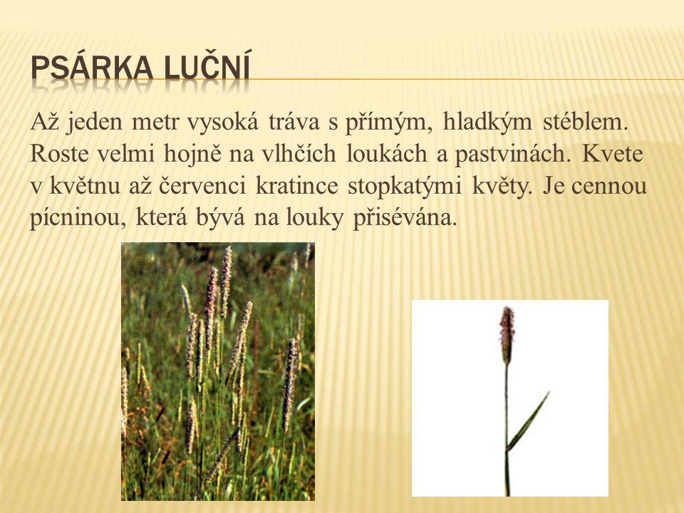 Až jeden metr vysoká tráva s přímým, hladkým stéblem. Roste velmi hojně na vlhčích loukách a pastvinách. Kvete v květnu až červenci kratince stopkatým