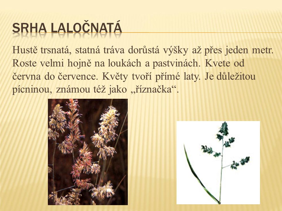 Hustě trsnatá, statná tráva dorůstá výšky až přes jeden metr. Roste velmi hojně na loukách a pastvinách. Kvete od června do července. Květy tvoří přím